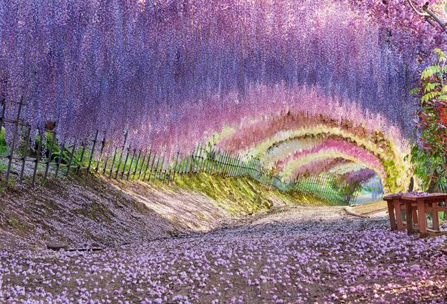 美しい藤の名所2018!見頃・開花情報、アクセス情報について