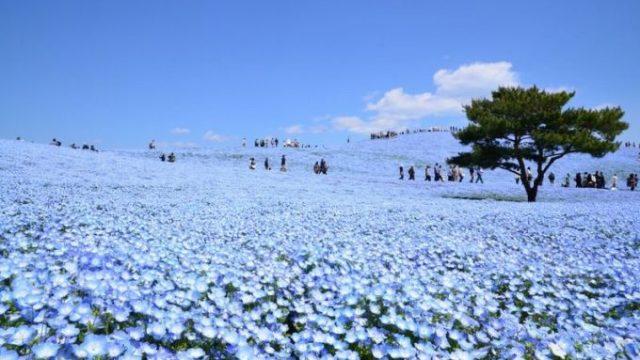 死ぬまでに行きたい!世界の絶景『国営ひたち海浜公園』